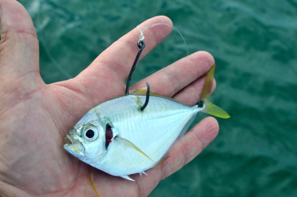 Un pește ucis brutal pentru a fi folosit drept momeală. Sursa foto Dave Lewis Worldwide Fishing