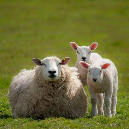 Despre ovine și caprine