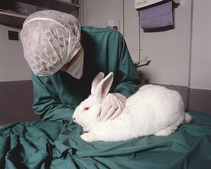 Penicilina a fost testată prima dată în anul 1929 pe iepuri și nu s-a observat niciun efect terapeutic, concluzionându-se că nu are nicio utilitate. Abia 10 ani mai târziu s-au făcut primele teste clinice care au dovedit eficiența acesteia. Mai târziu s-a descoperit că iepurii nu absorb penicilina la fel ca oamenii.