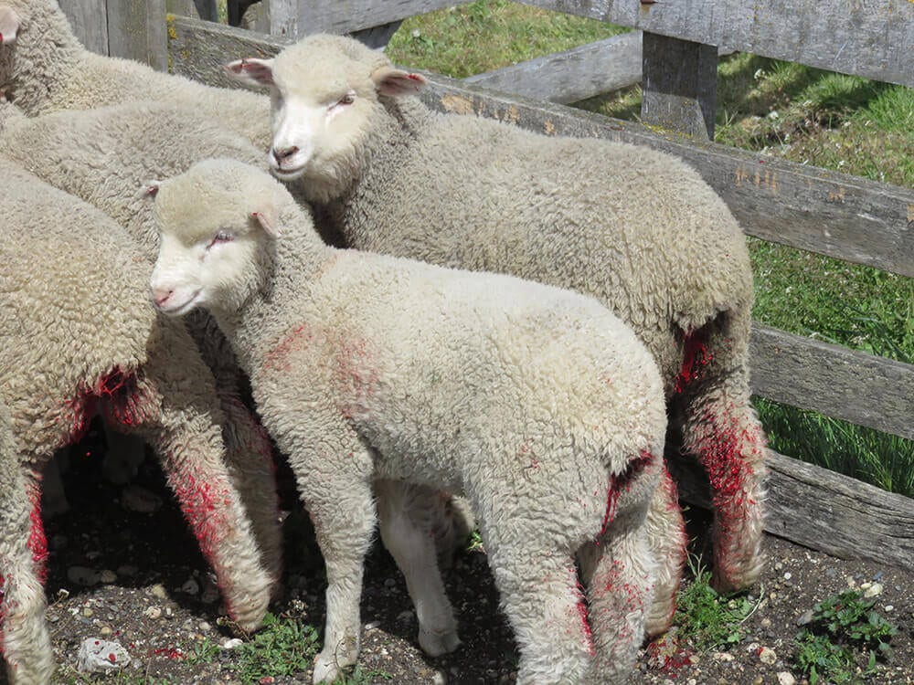 Mieilor li se taie coada și urechile fără a li se administra anestezice sau calmante. Unii vor muri din cauza infecțiilor netratate, apărute în urma acestor mutilări sau a tunsului neatent care le provoacă răni. Fermă din Patagonia. Sursa foto PETA
