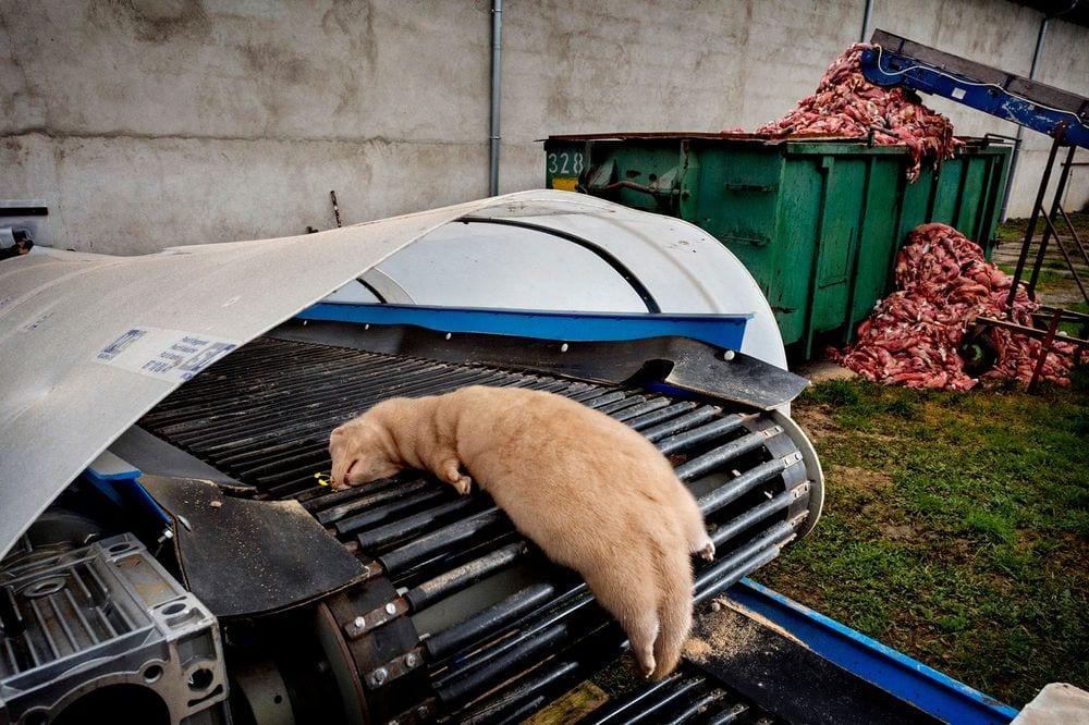 Fermă de nurci, Polonia 2015. În spate se pot vedea trupurile neînsuflețite ale câtorva mii de nurci jupuite de blană și aruncate la gunoi. Sursa Foto: Paolo Marchetti - Prețul vanității