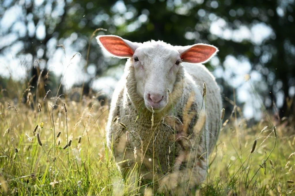 Summer - o oaie liberă la sanctuarul pentru animale Farm Sanctuary. Foto Jo-Anne McArthur