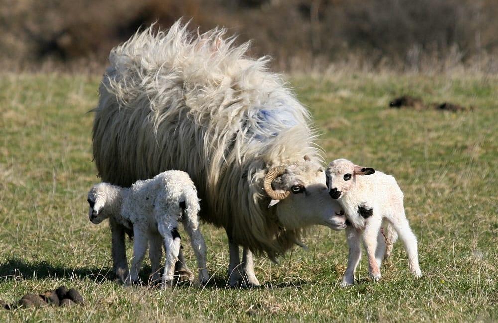 O mamă își protejează puii abia născuți. Soarta acestora a fost deja pecetluită încă de la naștere; ei urmează să fie uciși la vârsta de numai câteva săptămâni, negându-li-se dreptul fundamental la viață și integritate corporală. Sursa foto: Tudor Seulean
