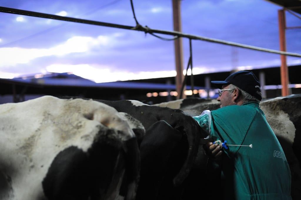 Inseminare artificială la o fermă de lapte și carne de vițel. Foto Jo-Anne McArthur