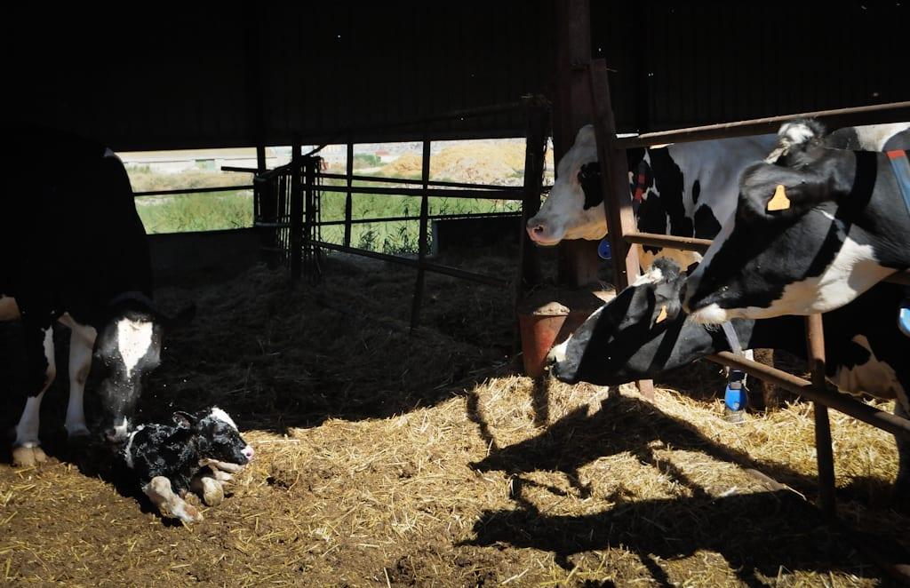 Fermă de lapte și carne de vițel. Foto Jo-Anne McArthur