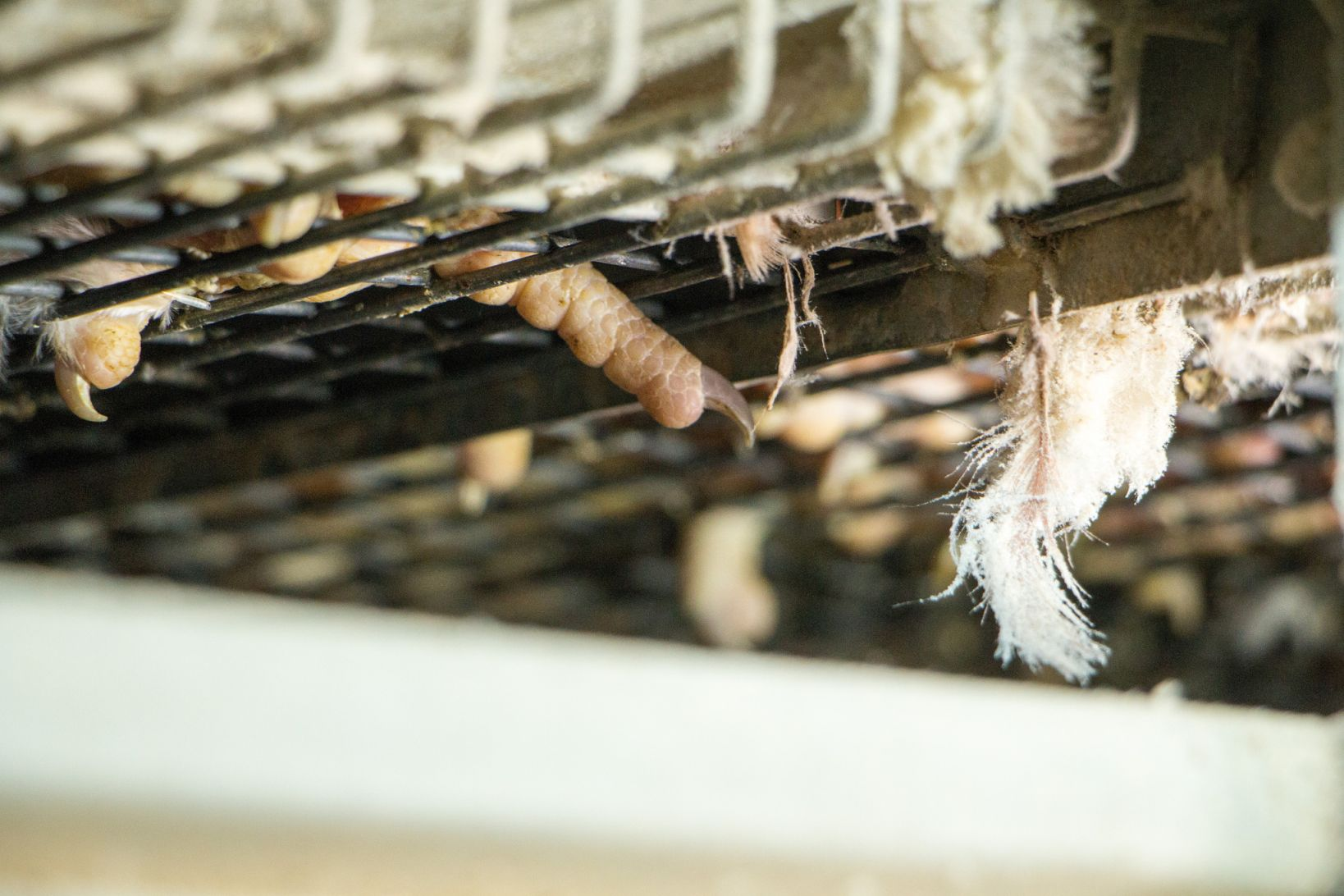 Fermă europeană cu baterii îmbunătățite Foto: Dzīvnieku brīvība