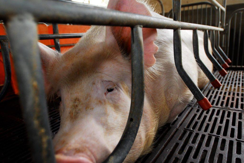 Boxă de maternitate în fermă de porci europeană. Foto: CIWF