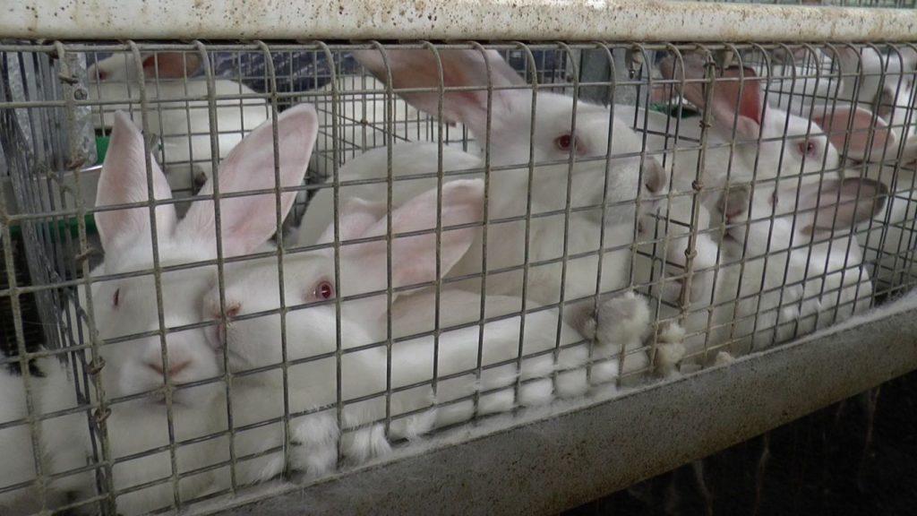Fermă de iepuri. Cuști convenționale. 85% din cuștile de iepuri din Europa arată așa.