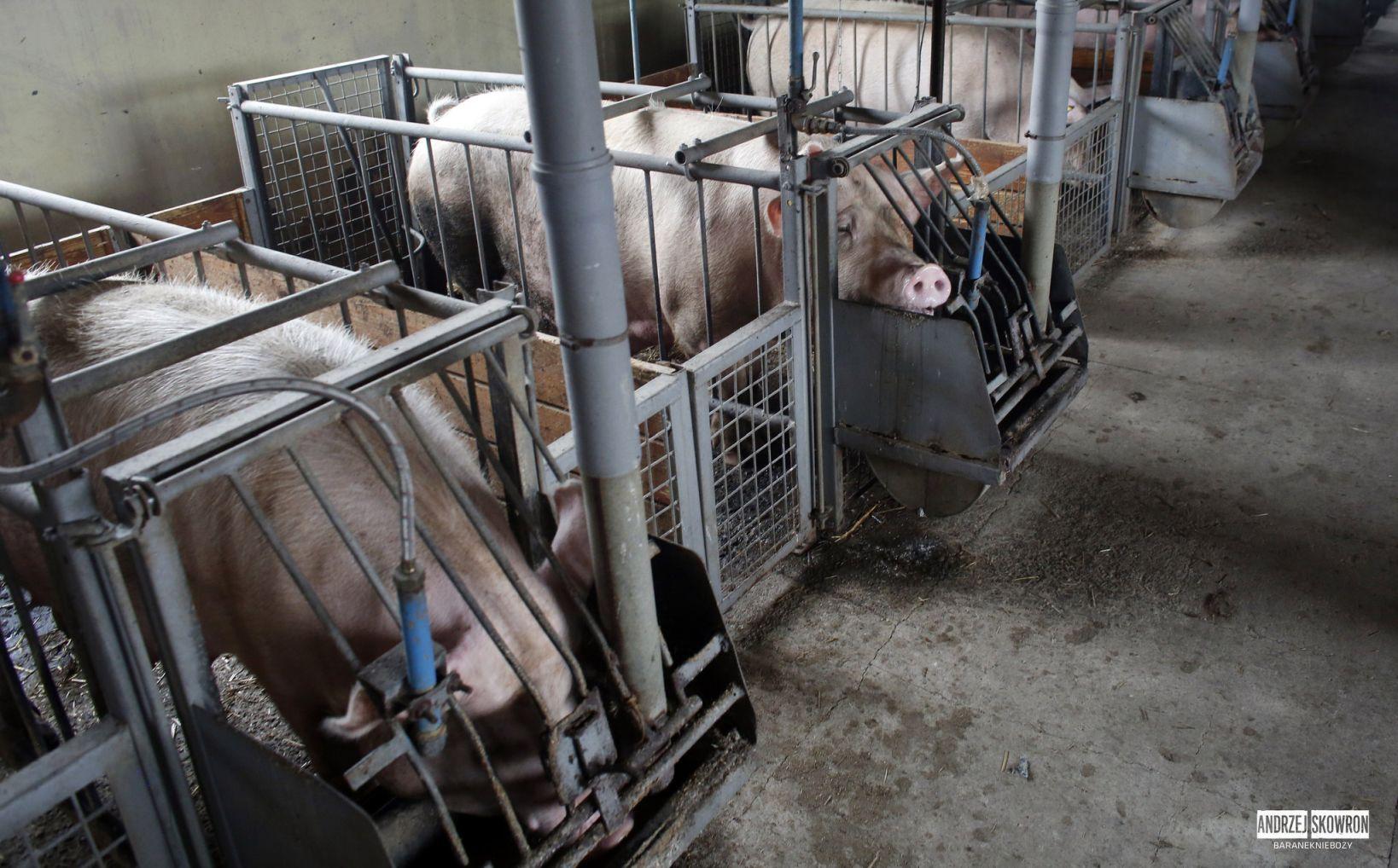 Fermă de porci din Polonia 2017. Foto: Open Cages