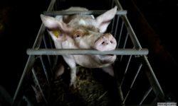 Fermă de porci din Polonia 2017. Foto Andrzej Skowron / Open Cages